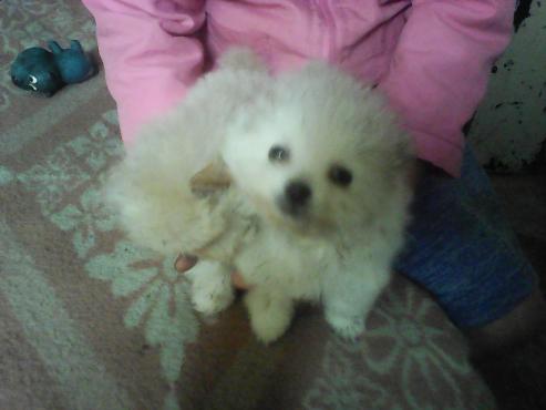 miniature toypom puppy