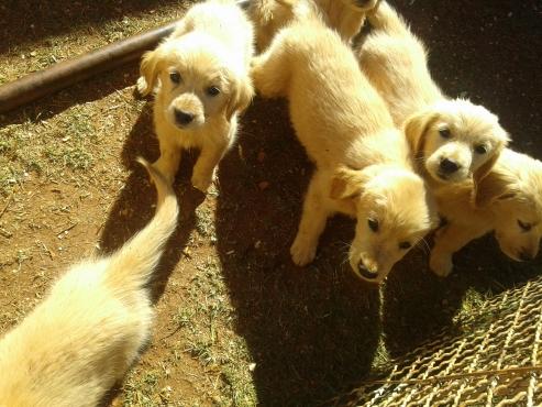 Purebred Golden Retriever Pups