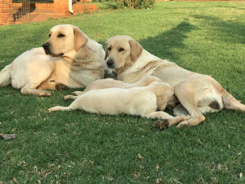 Labrador hondjie te koop