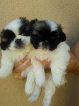 2 pekingese puppies for sale