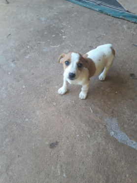 Jack Russell puppies for sale