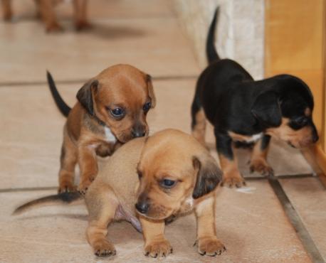 Beagle / Dachshund Cross