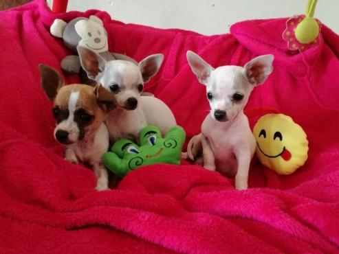 Chihauhau puppies te koop