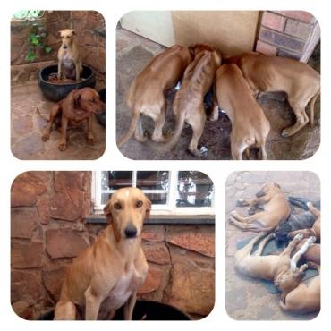 BoerWimdhond x RidgeBack Puppies 12 Weeks