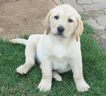 White Labrador puppies for sale