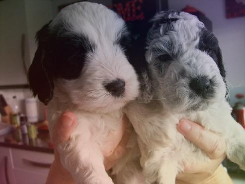Cocker spaniel x poodle puppies