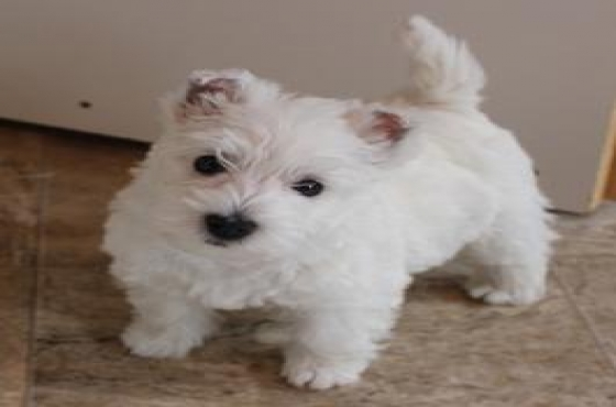 Well trained West Highland  Puppies For Pet Lovers.