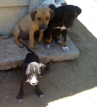 Labrador X Boxer puppies