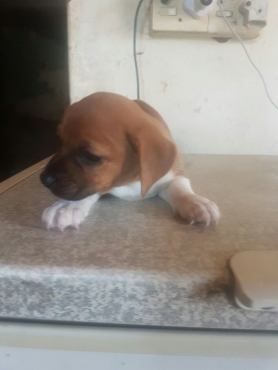 jack russel puppies for sale only R100