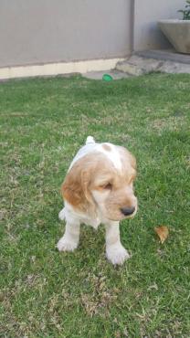 Beautiful Roan Spaniel Puppies