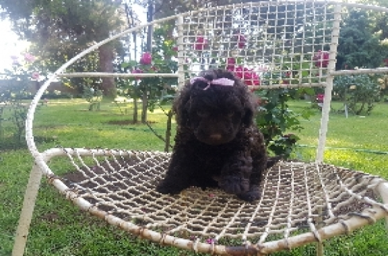Choc Miniature French Poodle puppy