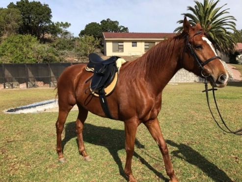 Racing horses for sale