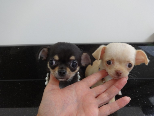 Apple Chihuahua Puppies