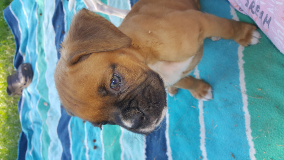 Boxer male for sale