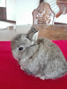 Miniature dwarf rabbits