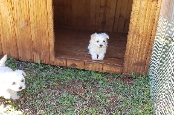 Smooth Coat Mini Maltese puppies