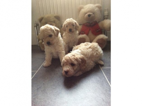French Toy Poodles