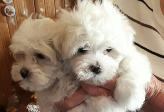 Maniature Maletese Puppies for sale