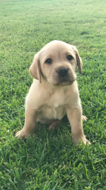 Purebred Labrador puppies