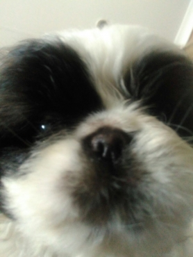 Adorable male black and white pekingese puppies
