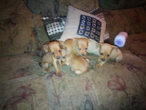 Brown Miniture Doberman Pincher Puppies