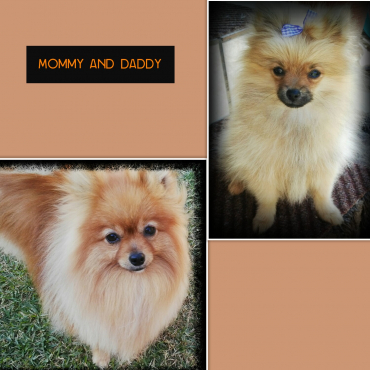 Pure bred miniature Toypom male puppy