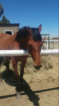 Stallion Horse For Sale