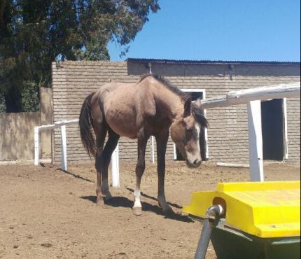 Pure Bred Arabian Horse For Sale