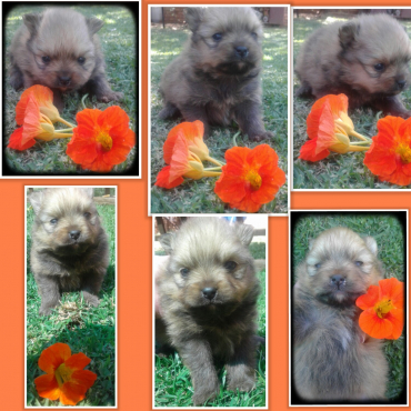 Pure bred miniature Toypom male puppy