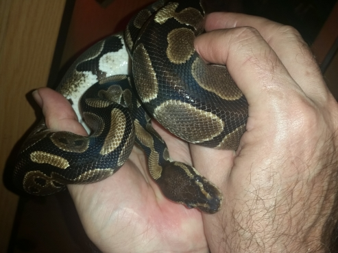 Ball Pythons * 2 + cage included