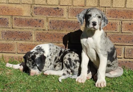 German bloodline Female Great Dane puppies for sale
