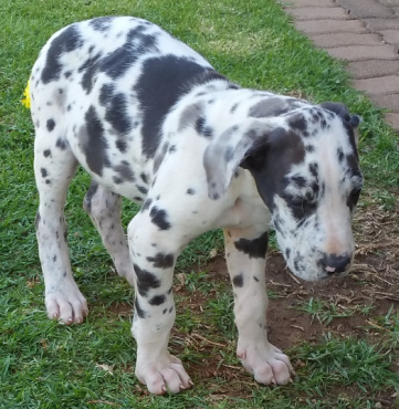 Giant German Bloodline, purebred, Great Dane Puppies for sale