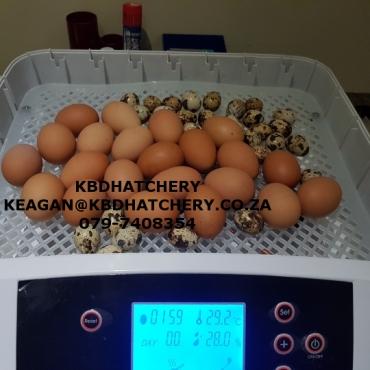 Incubator(56 eggs fully automatic)
