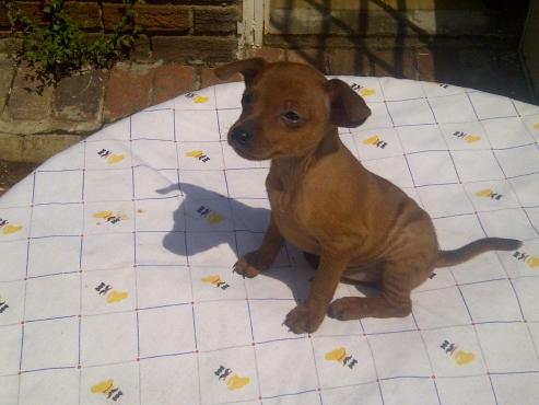 Lovely purebred miniature pinscher puppies