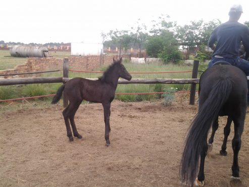 Friesian cross mare and Filly for sale
