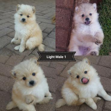 Toy Pom Puppies