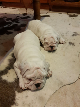 Most beautiful KUSA Reg English Bulldog puppies available and ready to go!