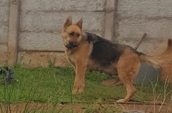 german shepherd in Pets in KwaZulu-Natal | Junk Mail Chow Chow X German Shepherd