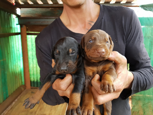 Doberman Large Breed Puppies