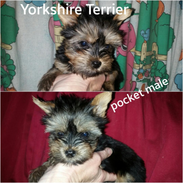 Yorkshire terrier pocket boys
