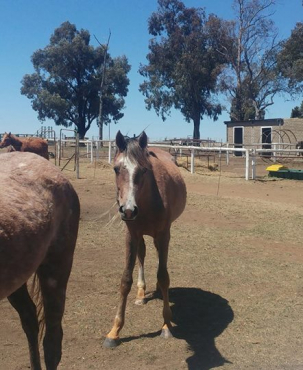 3x Pure Bred Arabian Horses at a steal