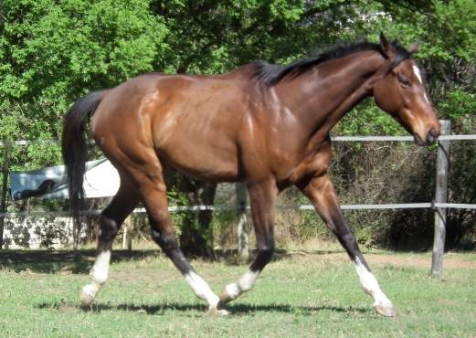 Great on outrides tb  gelding