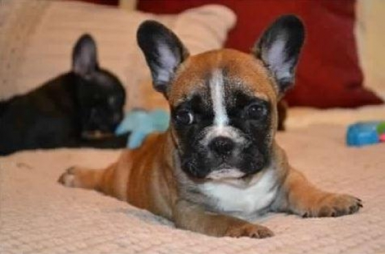 French Bulldog puppies, inoculated and dewormed,