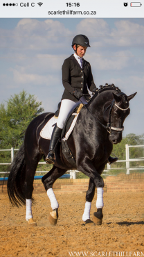 Wb dressage schoolmaster or broodmare