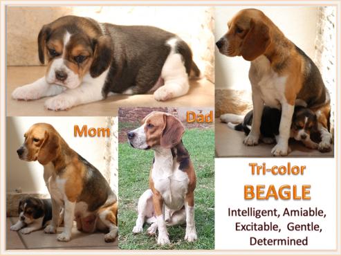 Beagle Female - 8 weeks old