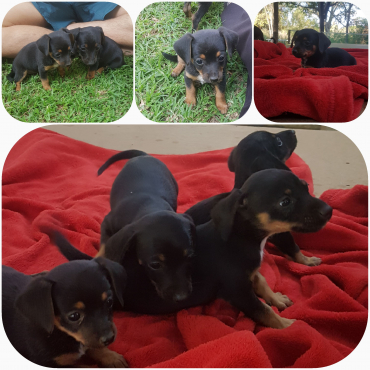 Beautiful Papshund Puppies for Sale