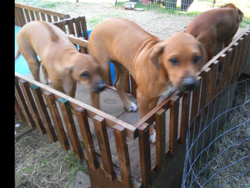 Dignified Rhodesian Ridgeback Puppies