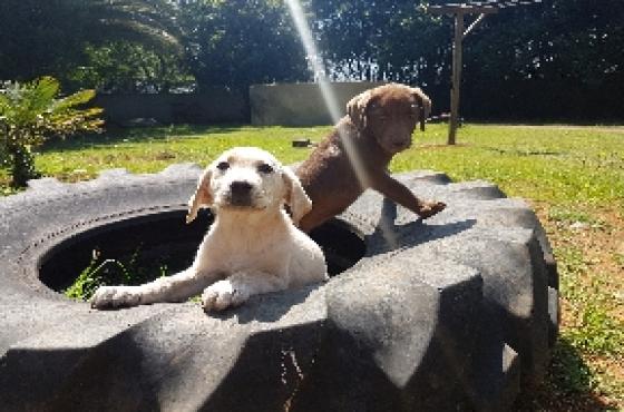 Labrador puppies GldnR1000ChocR2500