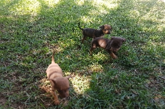 Mini Doberman pincher puppies