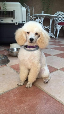 Bearlemo Miniature French Poodle Puppies